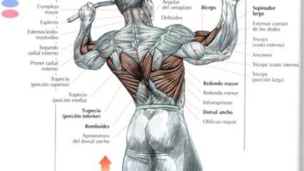 Desarrolla un torso poderoso, Ejercicios para la espalda