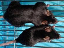 ratones mdx