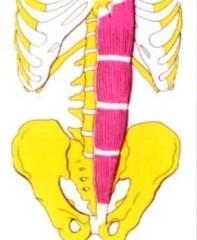 Anatomía: Músculos abdominales