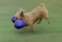 perro culturista