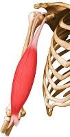 biceps braquial