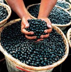 Acai, un antioxidante del Amazonas