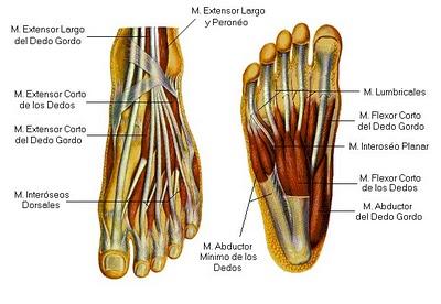 Anatomía funcional del pie