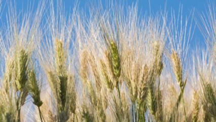 El jugo de hierba de cebada, ideal para mantener la forma